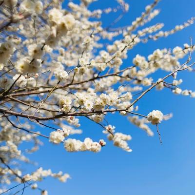 「梅の木と空」の写真素材