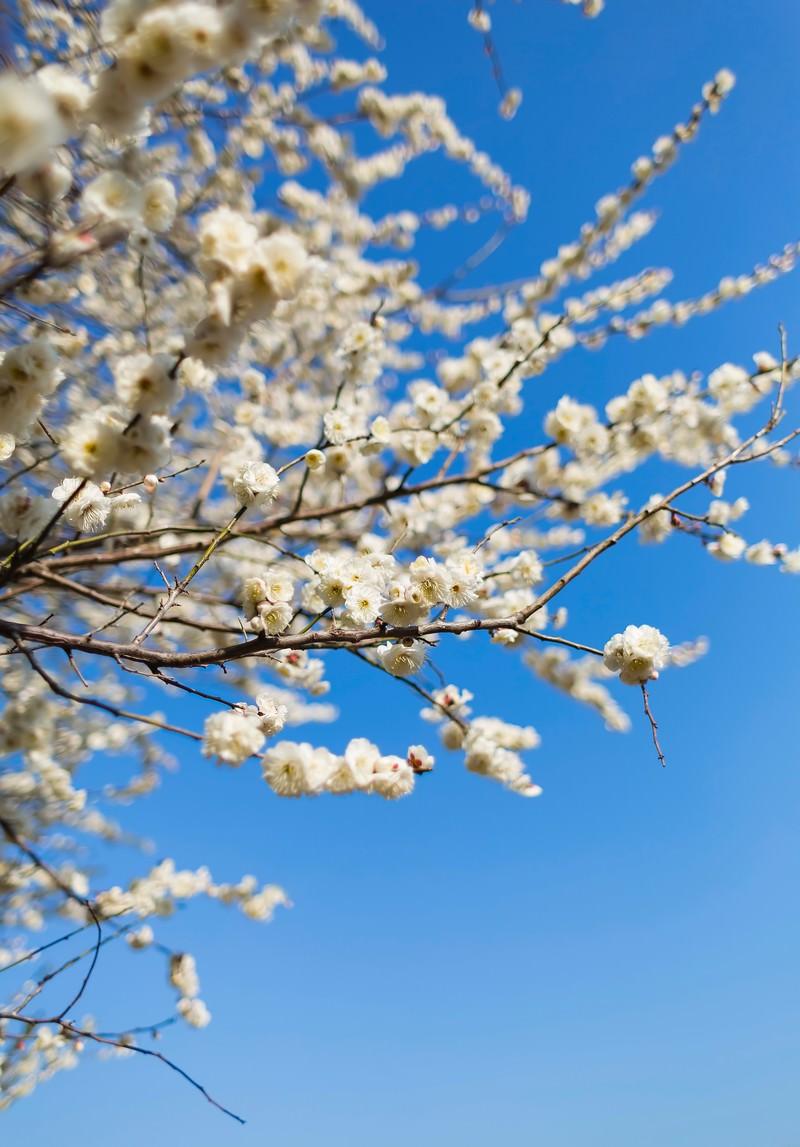 「梅の木と空」の写真