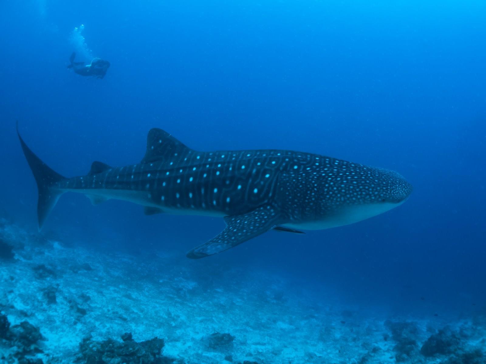 「海中を泳ぐジンベイザメとダイビング中のカメラマン」の写真