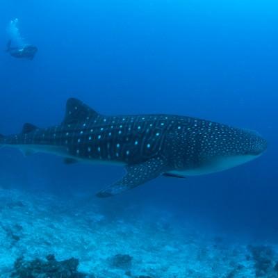 海中を泳ぐジンベイザメとダイビング中のカメラマンの写真