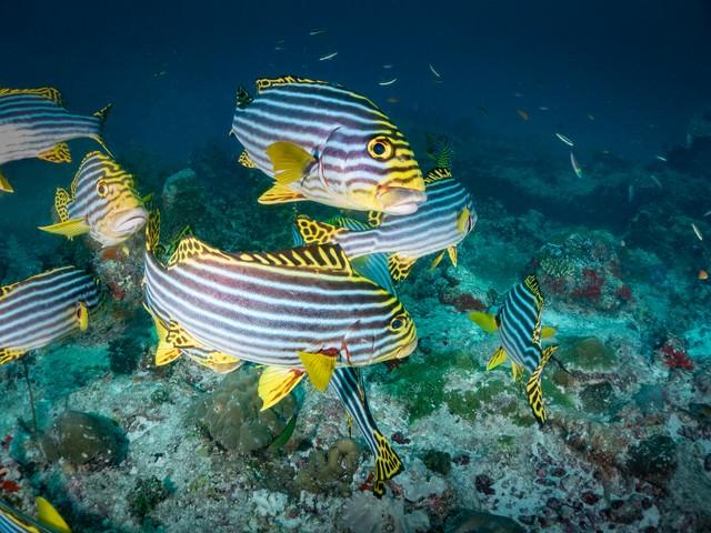 海中を泳ぐムスジコショウダイのアップの写真
