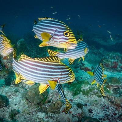 「海中を泳ぐムスジコショウダイのアップ」の写真素材