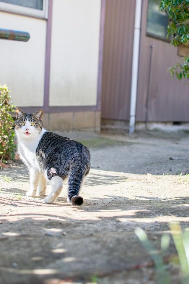 散歩中に振り返る猫の写真