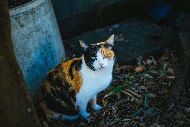 お座りしてこちらを見つめる猫の写真