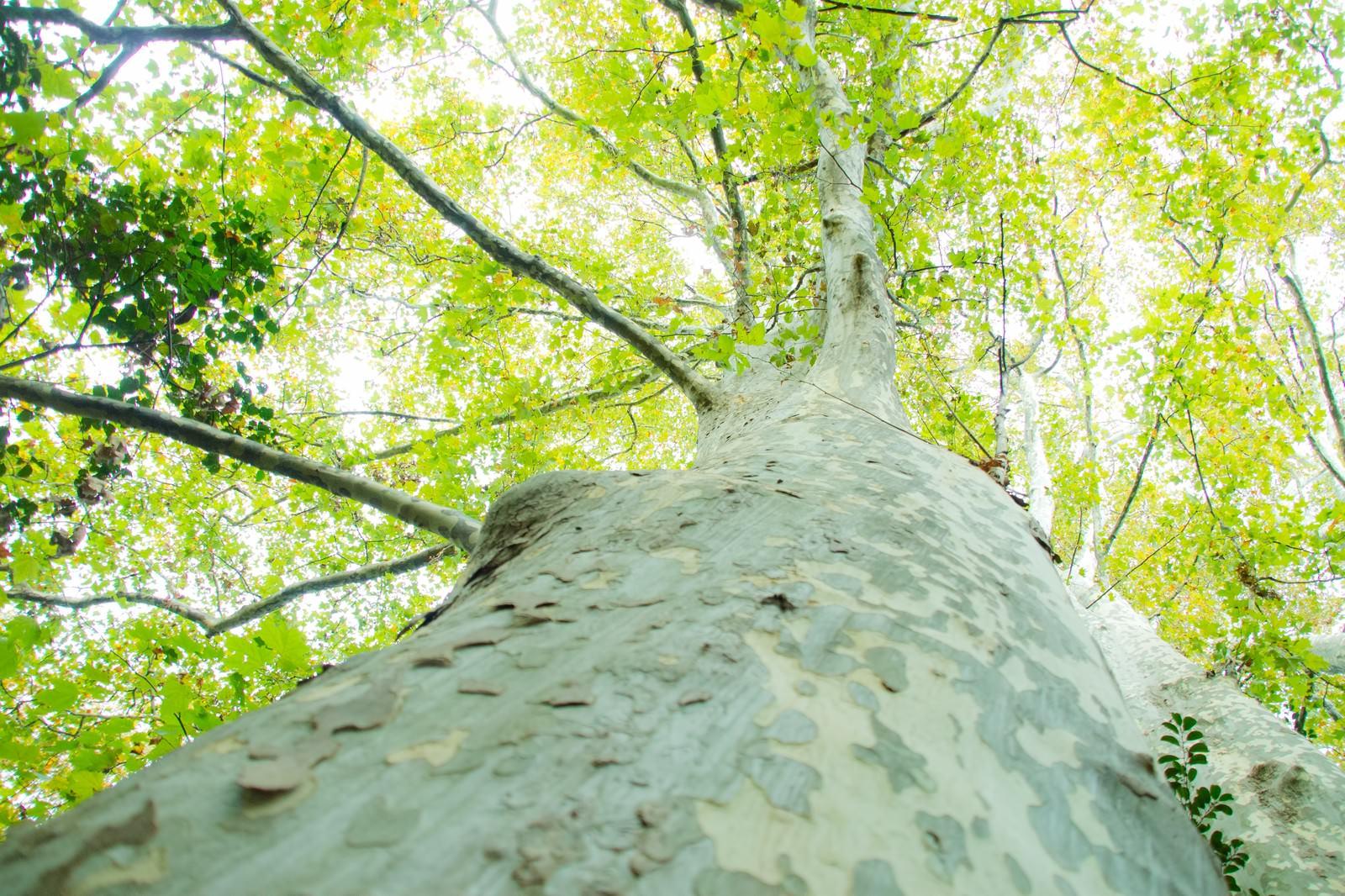 「木を見上げると溢れる緑と木漏れ日木を見上げると溢れる緑と木漏れ日」のフリー写真素材を拡大