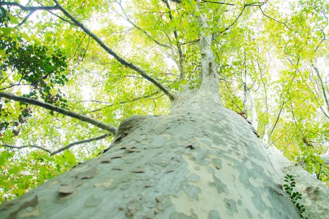 木を見上げると溢れる緑と木漏れ日の写真