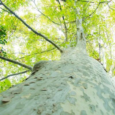 「木を見上げると溢れる緑と木漏れ日」の写真素材