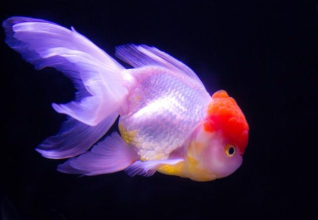 丹頂(金魚)の写真