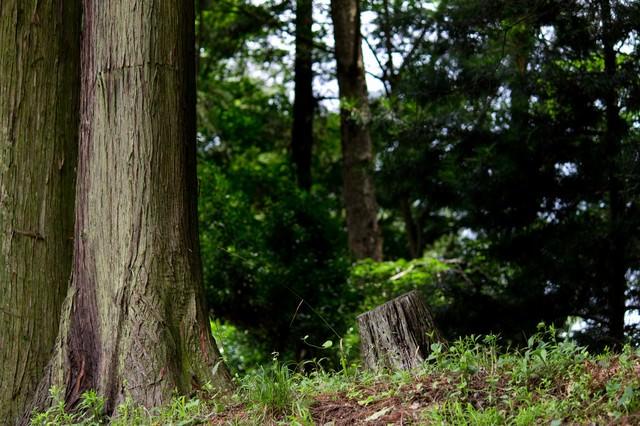 杉の木と森の写真