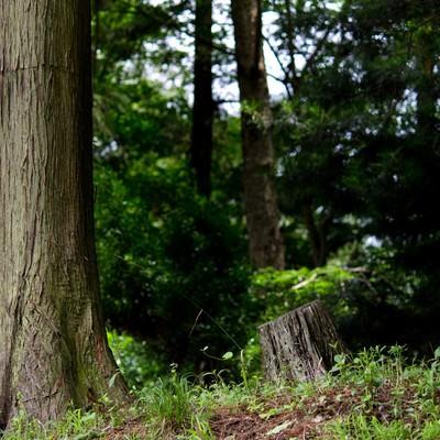 「杉の木と森」の写真素材