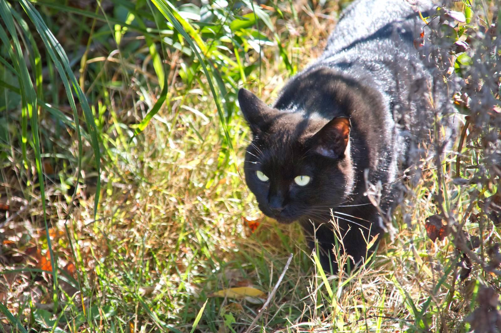 「藪から出てきた黒猫」の写真