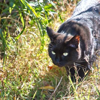 「藪から出てきた黒猫」の写真素材