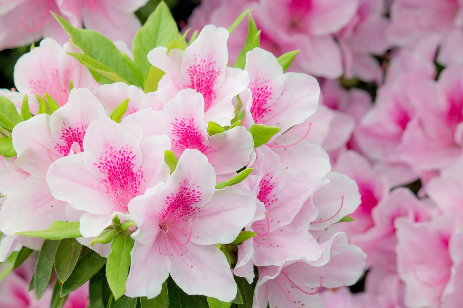 「ピンク色のつつじ」の写真