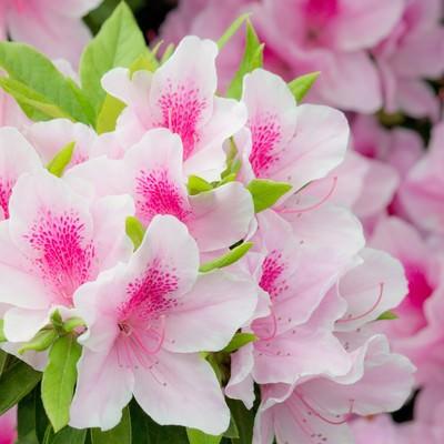 「ピンク色のつつじ」の写真素材