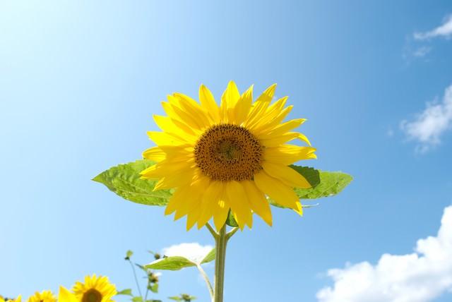 青空と向日葵の写真