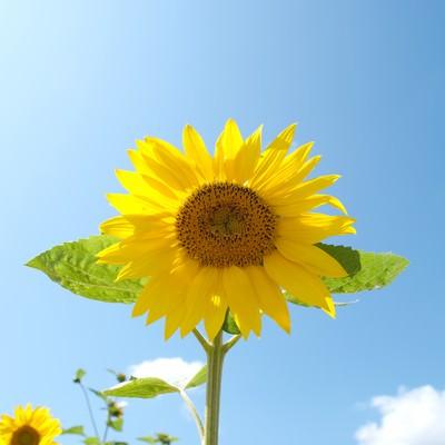 「青空と向日葵」の写真素材