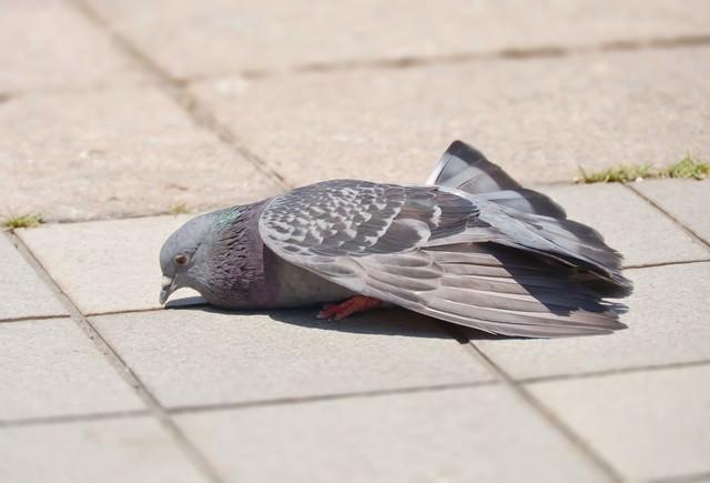 疲れた鳩の写真
