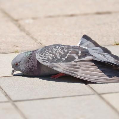 「疲れた鳩」の写真素材