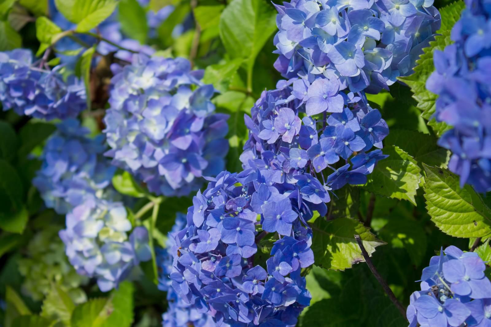 「青い紫陽花青い紫陽花」のフリー写真素材を拡大