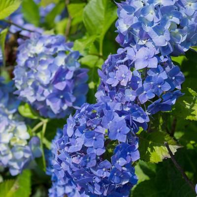 「青い紫陽花」の写真素材