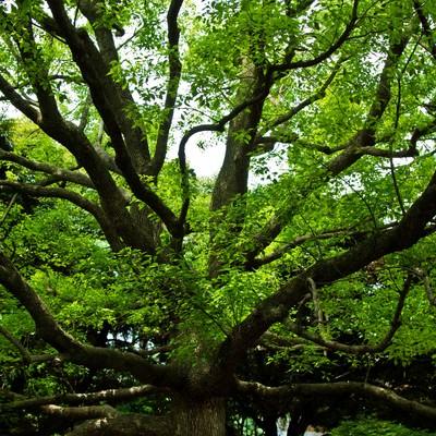 「晴れた緑と大きな樹木」の写真素材