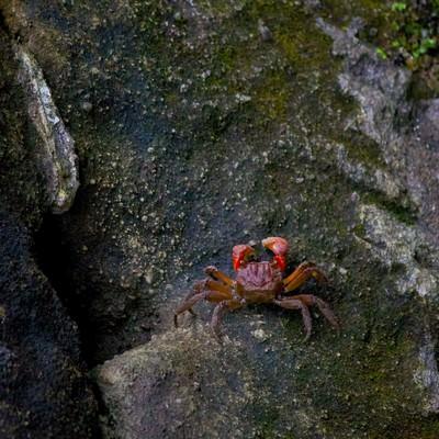 「岩場を歩く小さな蟹」の写真素材