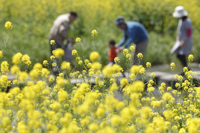 菜の花の飛び散る花粉と家族の写真
