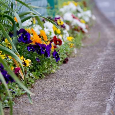 「フェンス際に咲くパンジー」の写真素材