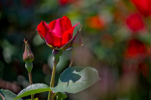 水滴が光る赤い薔薇の写真