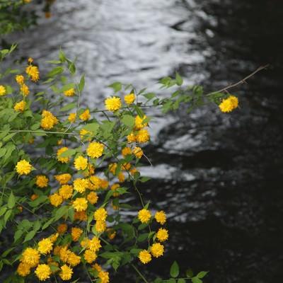 「川の光と黄色い花」の写真素材