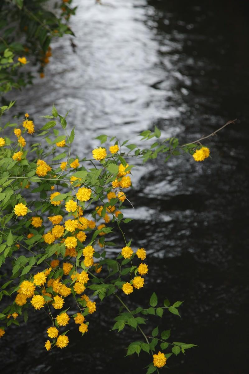 「川の光と黄色い花」の写真