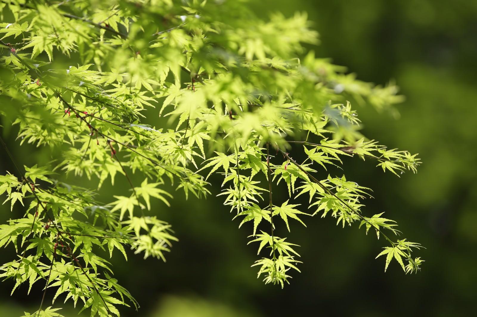 「緑色のもみじ」の写真
