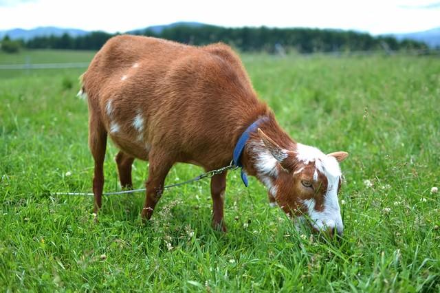 茶色い子ヤギの写真