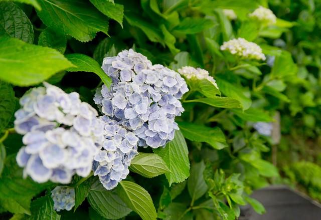 長谷寺の紫陽花の写真