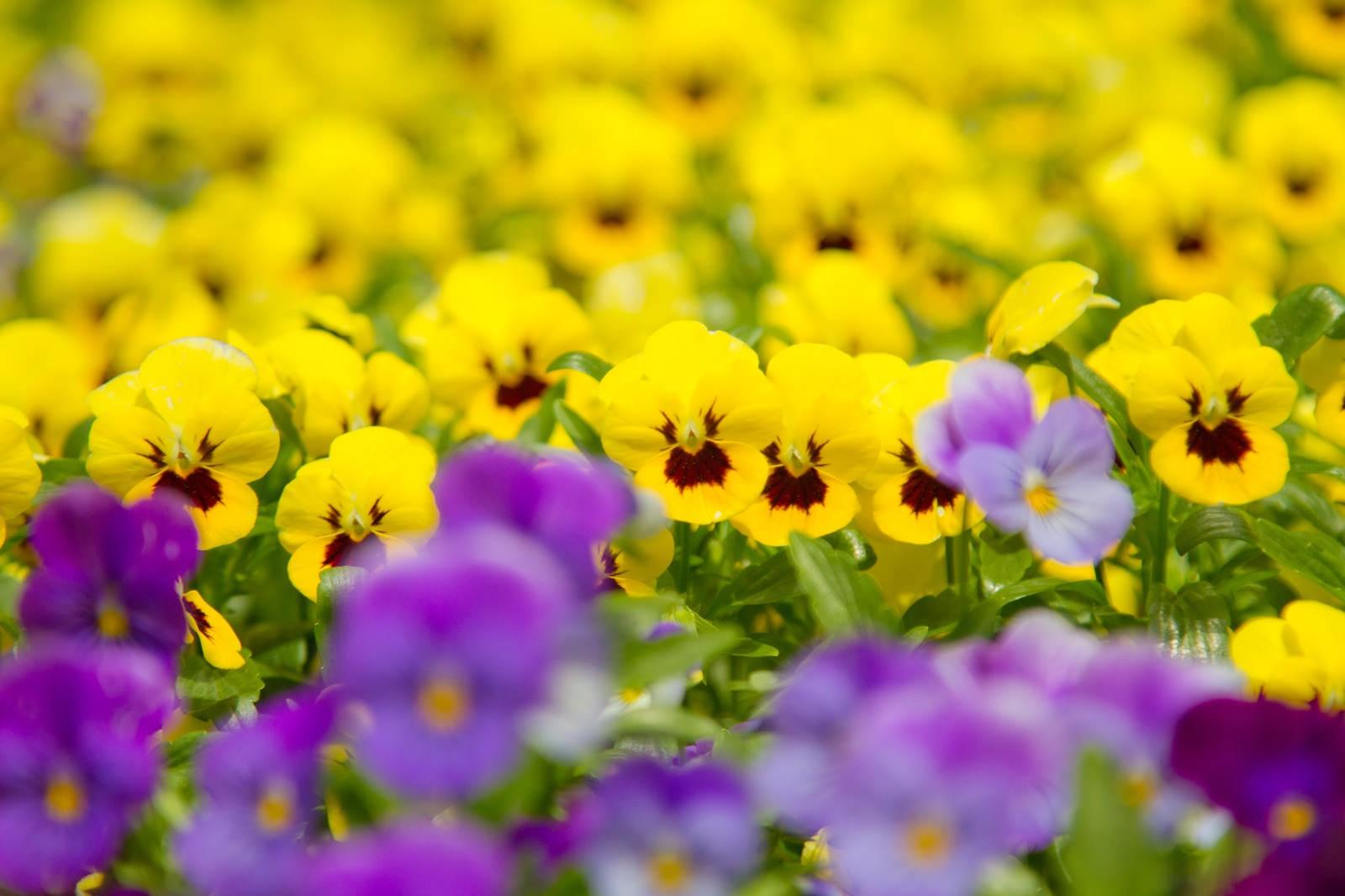 「黄色いパンジー」の写真