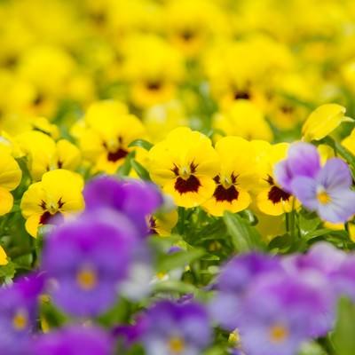 「黄色いパンジー」の写真素材
