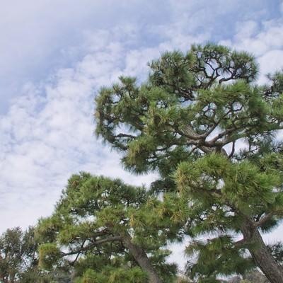 松の木の写真