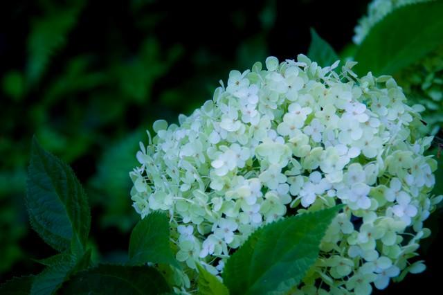 白い紫陽花の写真