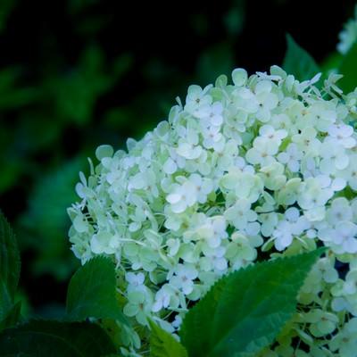 「白い紫陽花」の写真素材