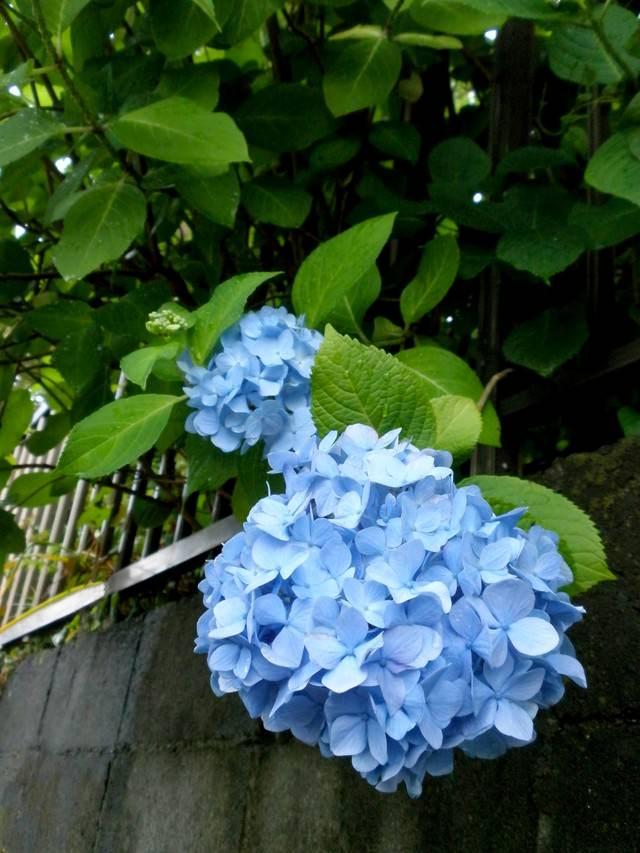 ブロック塀と青い紫陽花の写真