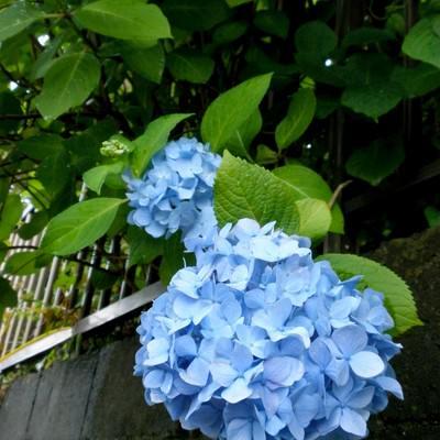 「ブロック塀と青い紫陽花」の写真素材