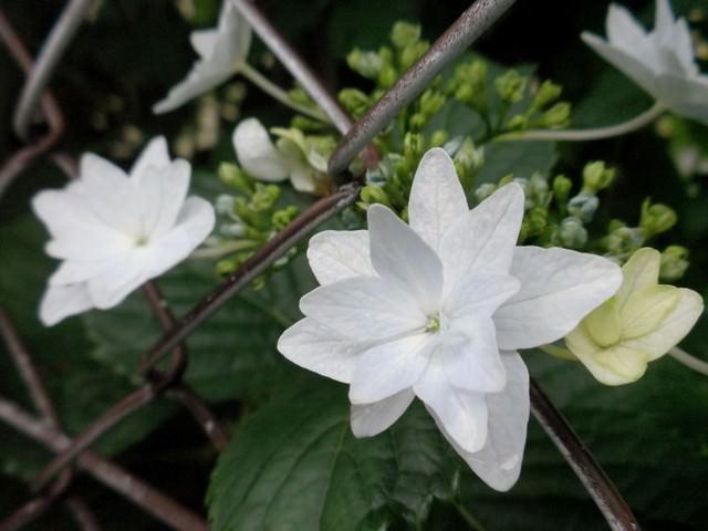 フェンス越しに咲くガクアジサイ