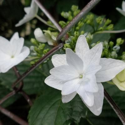 フェンス越しに咲くガクアジサイの写真