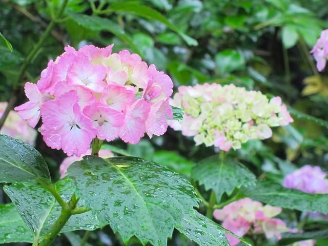 雨粒とピンク色の紫陽花の写真