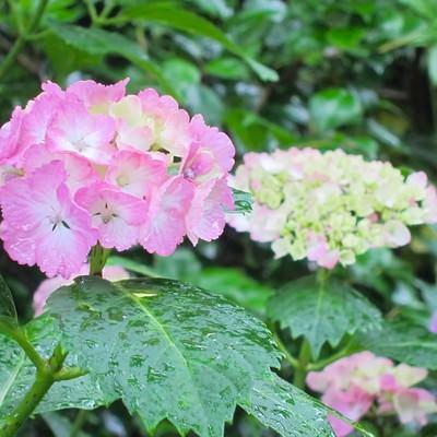 「雨粒とピンク色の紫陽花」の写真素材