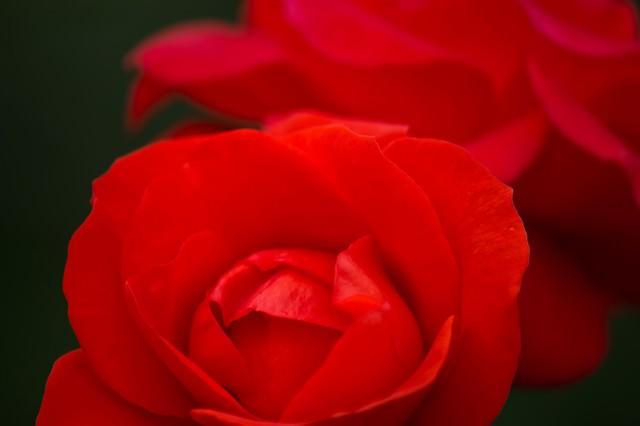 赤いバラのアップの写真