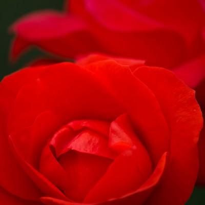 「赤いバラのアップ」の写真素材