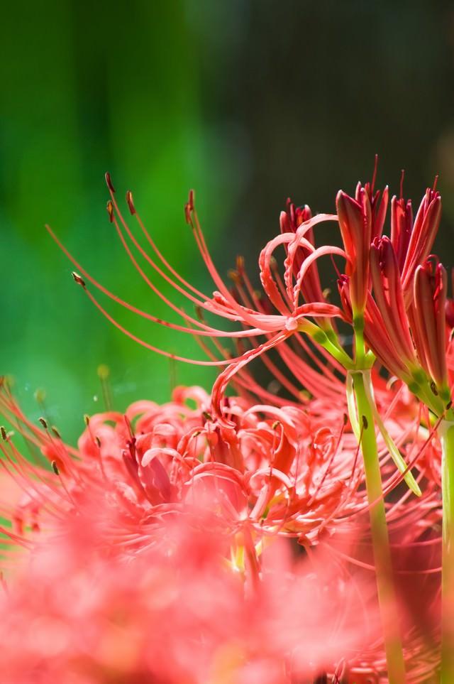 鮮やかに咲く彼岸花の写真