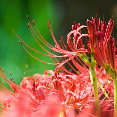 「鮮やかに咲く彼岸花」の写真素材