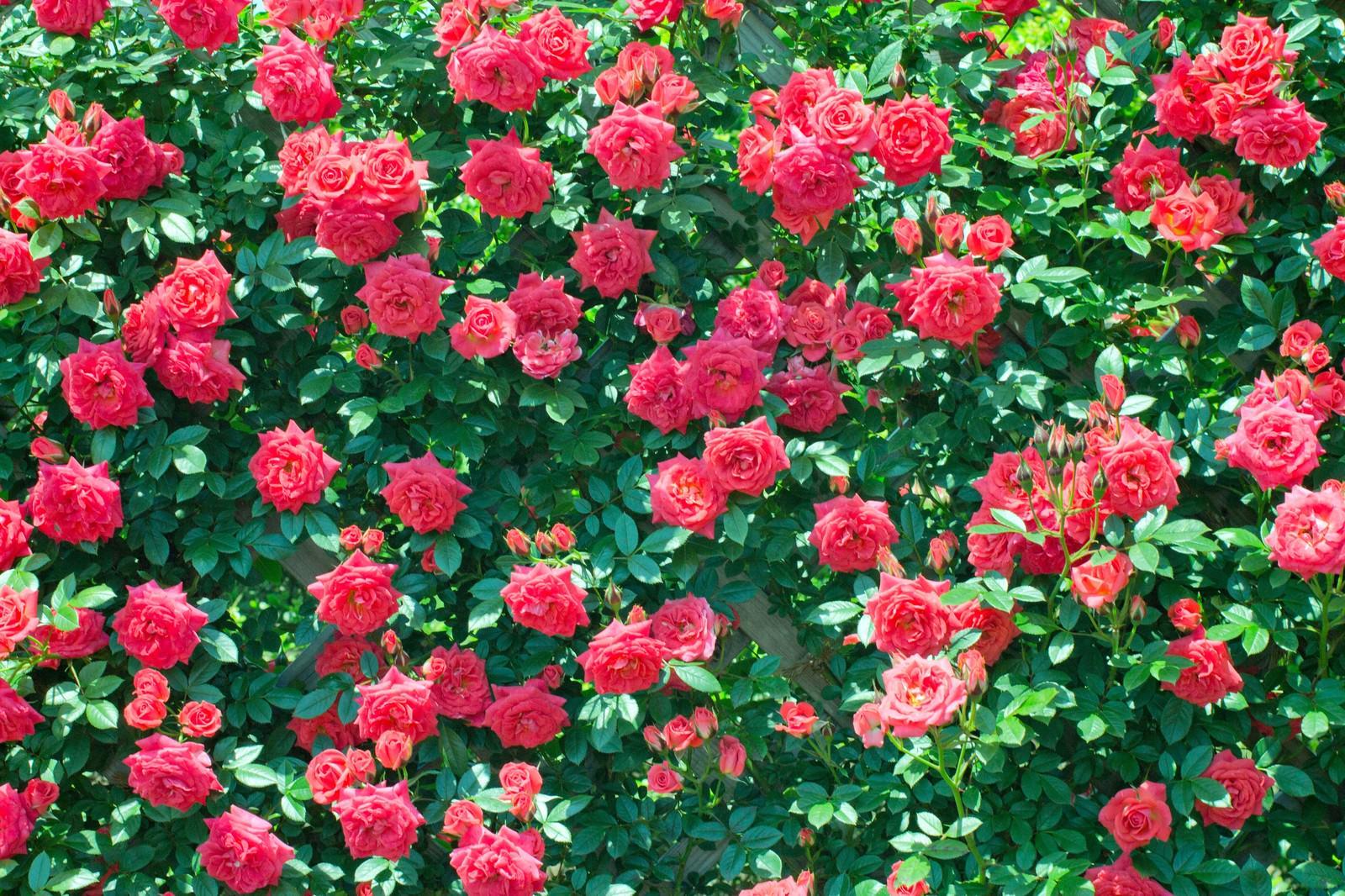 「バラの壁」の写真